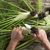 preparation of fennel stock photo © fotografiche