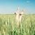 brood · tarwe · volwassen · achtergrond · diner · mais - stockfoto © fotovika