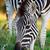 plains zebra grazing on green grass stock photo © fouroaks