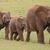 elefant · african · mers · tineri · elefant · parc · Africa · de · Sud - imagine de stoc © fouroaks