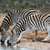burchells or plains zebras drinking water stock photo © fouroaks