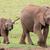 jovem · elefante · africano · amigos · família · africano · elefantes - foto stock © fouroaks