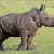 cute baby white rhino stock photo © fouroaks