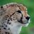 éber · gepárd · sivatag · Dél-Afrika · macska · portré - stock fotó © fouroaks