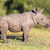 cute baby rhino stock photo © fouroaks
