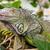 緑 · イグアナ · 皮膚 · テクスチャ · 自然 · 色 - ストックフォト © fouroaks