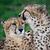 gepárd · vad · macska · szemek · közelkép · macskák - stock fotó © fouroaks