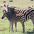 ребенка · зебры · матери · Cute · Постоянный - Сток-фото © fouroaks