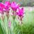 siam tulip or krajeaw flower stock photo © frameangel