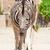 zebra · zebrák · Afrika · Kenya · ló · fut - stock fotó © frameangel