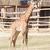 zürafa · genç · yukarı · ulaşmak · yaprakları - stok fotoğraf © frameangel