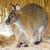 kangaroo stock photo © frameangel
