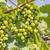 fresco · uva · videira · brilhante · luz · do · sol · verão - foto stock © frameangel