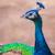 tavuskuşu · katlanmış · kuyruk · tropikal · park · doğa - stok fotoğraf © frameangel