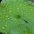 water drops on leaf lotus stock photo © frameangel