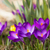General view of the purple saffron flowers. stock photo © frank11