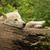 белый · волка · лес · природы · деревья · животного - Сток-фото © frank11