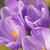 violeta · açafrão · pormenor · açafrão · crescente - foto stock © frank11