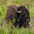 large american bison stock photo © frankljr
