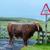 vaca · natureza · paisagem · montanha · fazenda · animal - foto stock © franky242