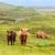 gado · prado · vaca · fazenda · touro · escócia - foto stock © franky242