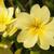 amarelo · prímula · flor · isolado · branco · fundo - foto stock © frannyanne
