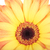 uno · arancione · fiore · rugiada · isolato · bianco - foto d'archivio © frescomovie