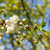 flowers of the cherry tree stock photo © frimufilms