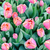 pink tulips close up stock photo © frimufilms