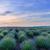 foto · paars · bloemen · lavendel · veld · zonsondergang · bloeien - stockfoto © frimufilms