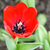 red tulips close up stock photo © frimufilms
