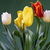 red white and yellow tulips stock photo © frimufilms