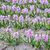 campo · jacinto · natureza · folha · jardim · beleza - foto stock © frimufilms