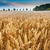cornfield stock photo © froxx