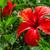 красный · гибискуса · цветок · изолированный · белый · любви - Сток-фото © g215