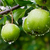 green apples on a branch in a garden stock photo © g215
