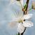 cherry blossom on grunge background stock photo © g215