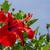 красный · гибискуса · цветок · подробность · весны - Сток-фото © g215