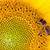 abeille · tournesol · jaune · nature · fleur - photo stock © Gbuglok