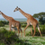 deux · girafes · africaine · savane · marche · vert - photo stock © Gbuglok
