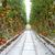 paradicsomok · sorok · üvegház · farm · mezőgazdaság · növekedés - stock fotó © gemenacom