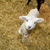cute lamb stock photo © gemenacom