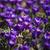 branco · açafrão · vários · natureza - foto stock © gemenacom