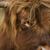 gado · prado · vaca · fazenda · touro · escócia - foto stock © gemenacom