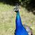 peacock with short focal depth stock photo © gemenacom