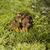 chanterelles stock photo © gemenacom