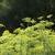 édeskömény · kert · fény · sekély · mező · kép - stock fotó © gemenacom