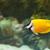 hal · citromsárga · trópusi · Vörös-tenger · természet · tenger - stock fotó © geniuskp