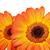 dois · laranja · natureza · jardim · verão - foto stock © GeniusKp