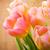 tulips stock photo © gitusik